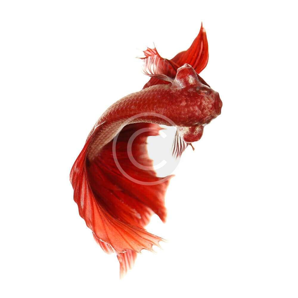 Vail Tail Betta Fish