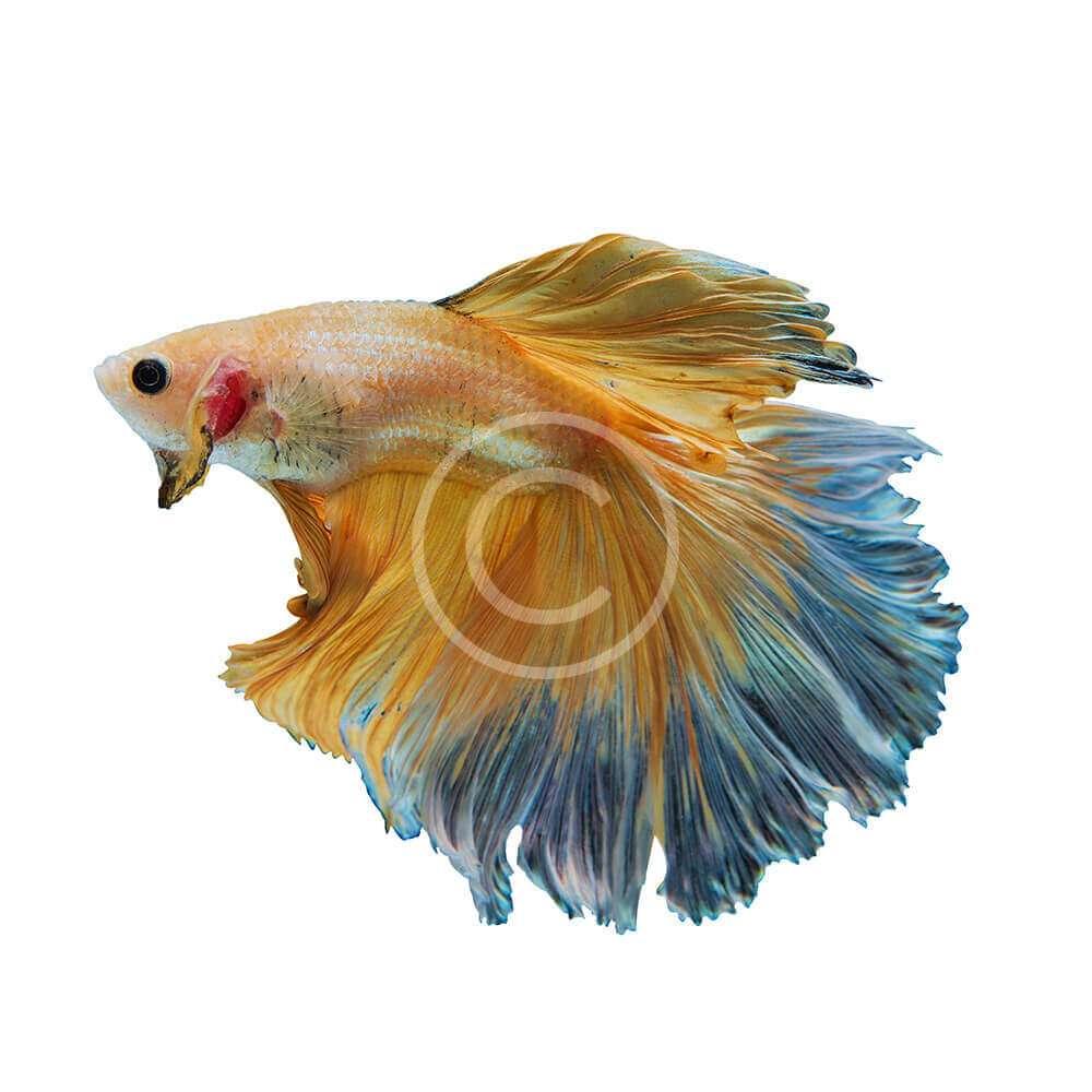 Flower Tail Betta Fish