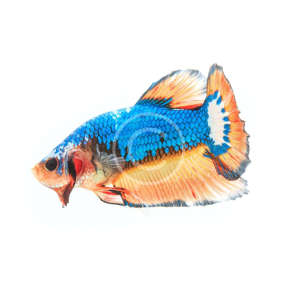 Half Moon Betta Fish